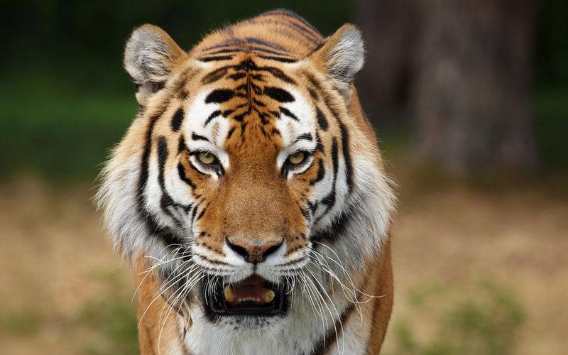 ¡Un enorme tigre! ¿cómo saldrás de esta?