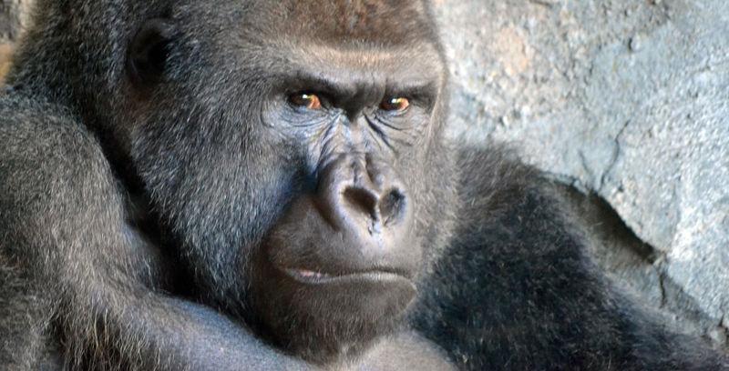 Los gorilas comen carne ¿lo sabías? Pues ahora ya lo sabes, mi delicioso amigo.