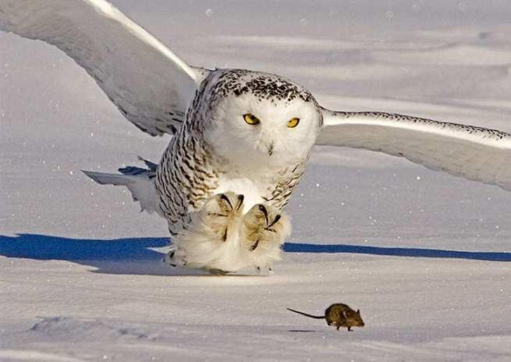 Un búho nival defendiendo su nido