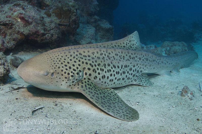 ¿Qué tipo de tiburón es esta preciosidad?