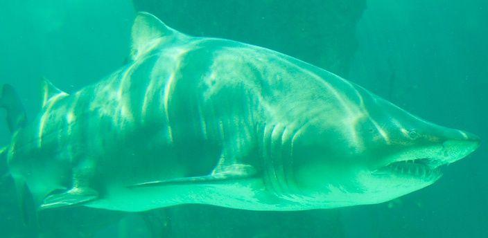 ¿Sabrías qué especie de tiburón es?