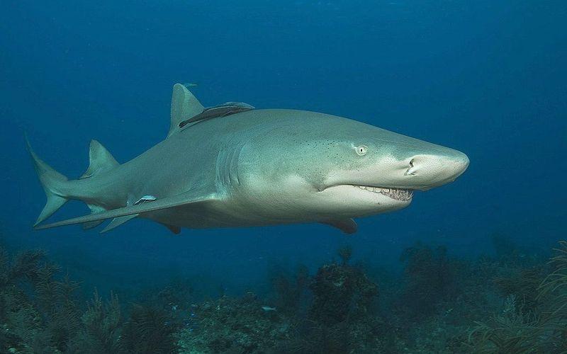 ¿Qué tipo de tiburón es?