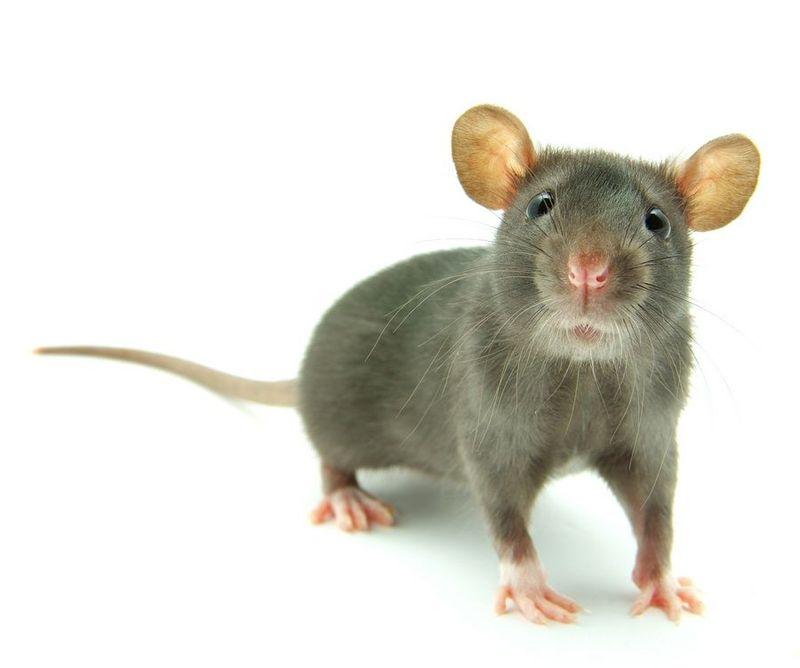 ¿Qué les gusta más a los ratones?