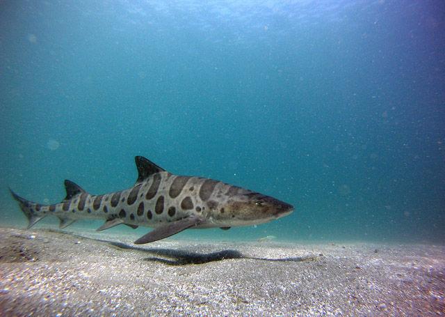¿Cómo se llama este tiburón tan bonito?
