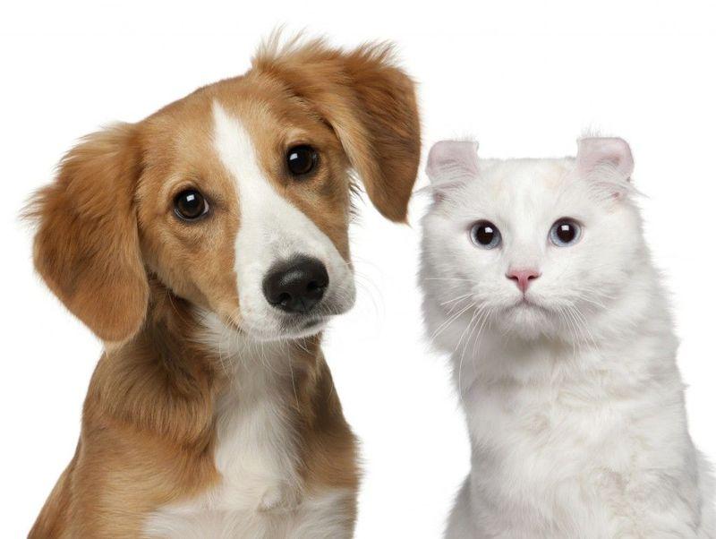 Los perros y los gatos no pueden ser diestros o zurdos como los humanos.