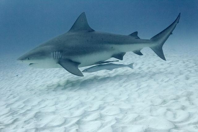 ¿Sabes cuál es este tiburón?