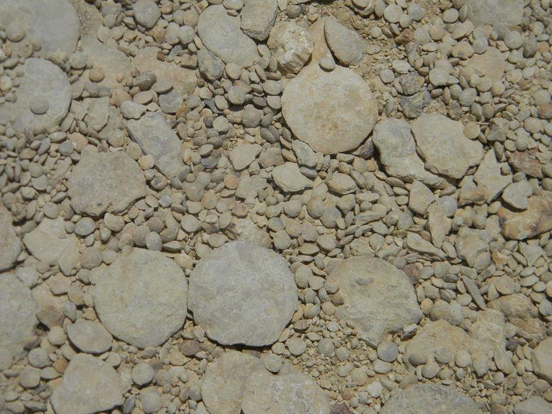 Los nummulítidos disfrutaban de una feliz existencia en el EOCENO. Medían hasta 19 cm de diámetro, pero ¿cuántas células tenían?