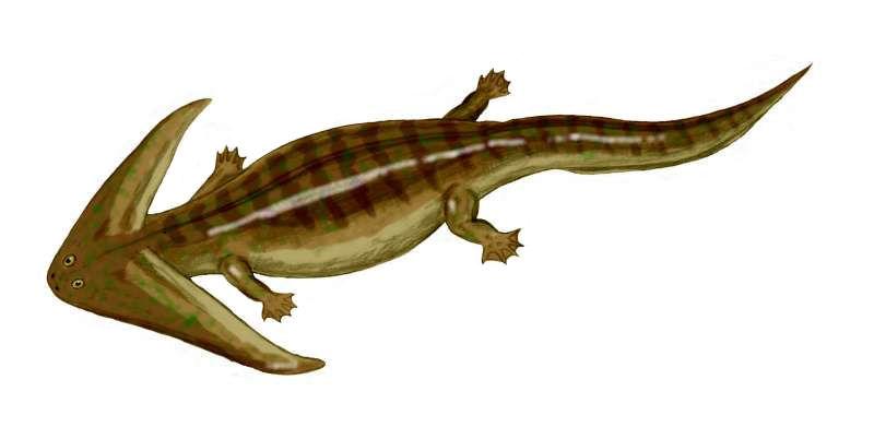 Diplocaulus es un anfibio del PÉRMICO con la cabeza triangular. ¿Para qué se supone que le servía?