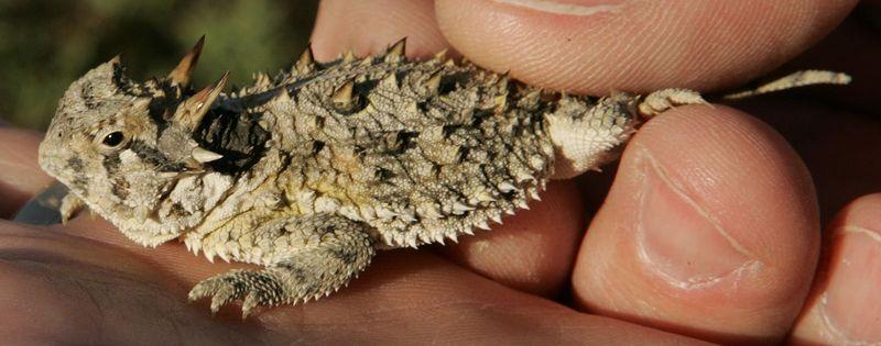 El Phrynosoma cornutum es un lagarto espinoso común en desiertos de México. ¿Qué es lo más sorprendente de su biología?