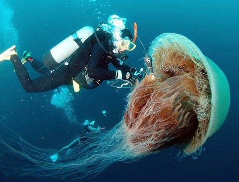 Esta medusa (Cyanea capillata) está considerada como la especie de medusa más grande del mundo. ¿Cuál es su nombre común?