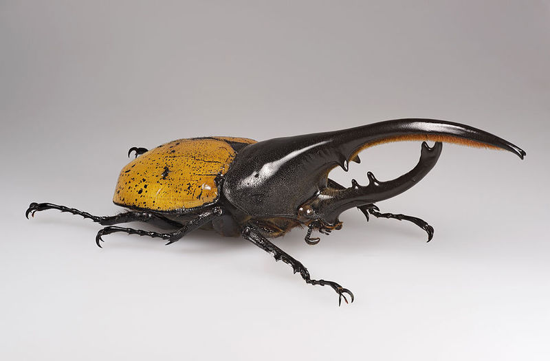 Aquí tenemos al gigantesco Escarabajo hércules (Dynastes hercules). ¿Cuál de los siguientes escarabajos lo supera en tamaño?