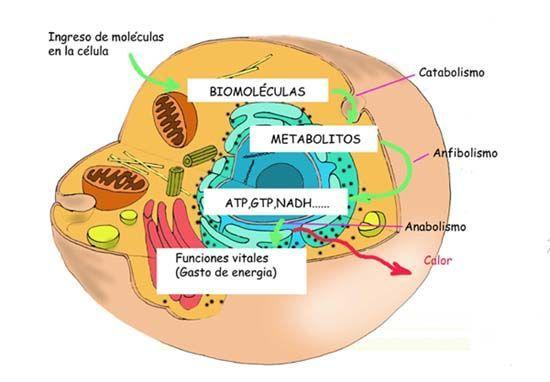 Con respecto al metabolismo: