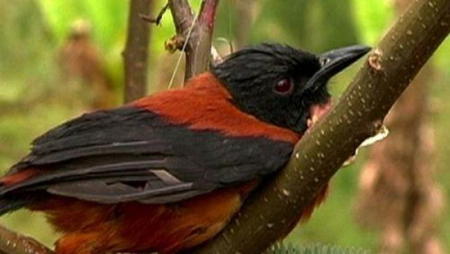 Existe un género de aves conocidos como Pitohuí, de gran interés biológico. ¿Que tienen de especial?