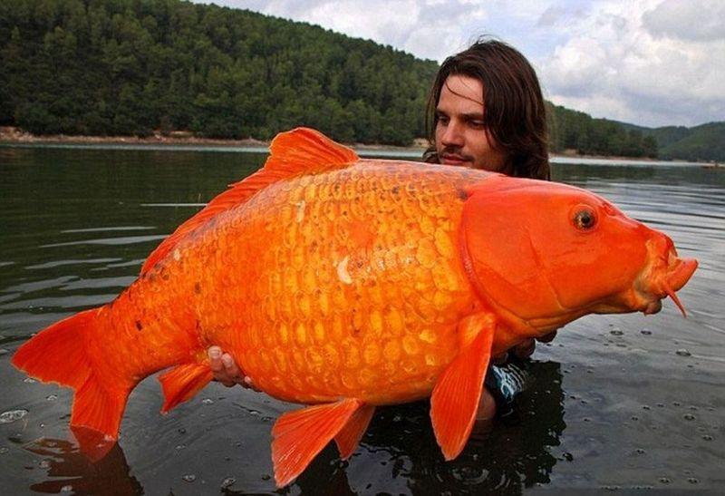 ¿Cuál de estos está considerado el pez óseo más pesado del mundo?