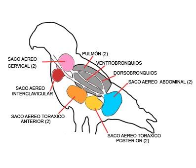 Todas las aves tienen en sus pulmones unos órganos especializados llamados sacos aéreos. ¿Cuál es su función principal?