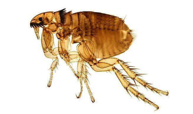 La pulga tiene el récord de mayor distancia recorrida en cuanto su tamaño, hasta 200 veces. ¿Cuánto llega a poder saltar?