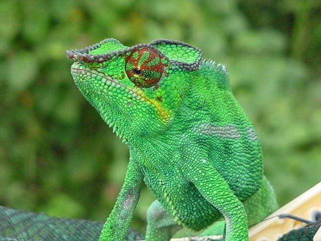 ¿Los camaleones cambian de color dependiendo de como se encuentren física y psicológicamente?