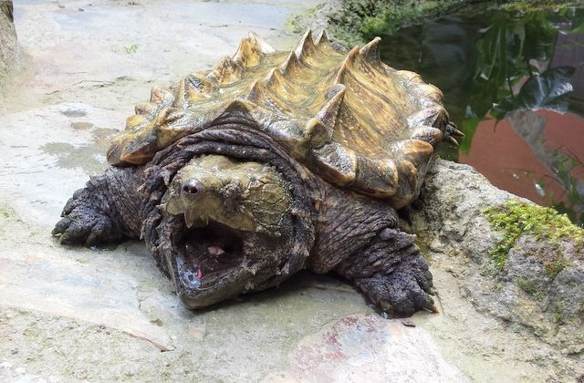 La tortuga caimán es una de las tortugas de agua dulce más grande del mundo. ¿Qué otra característica única posee?