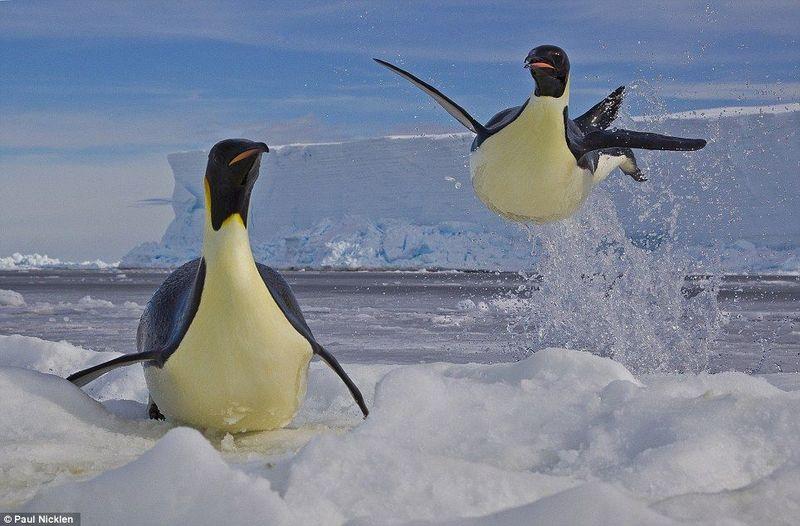 ¿Cómo es capaz el pingüino emperador de mantenerse hasta 20 minutos bajo el agua?
