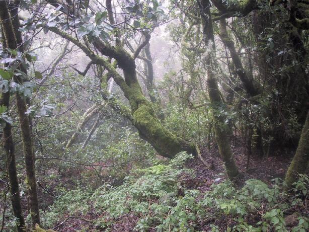 La laurisilva en España sólo se encuentra en las Islas Canarias (como Tenerife o La Gomera) ¿Gracias a qué sigue existiendo aún?