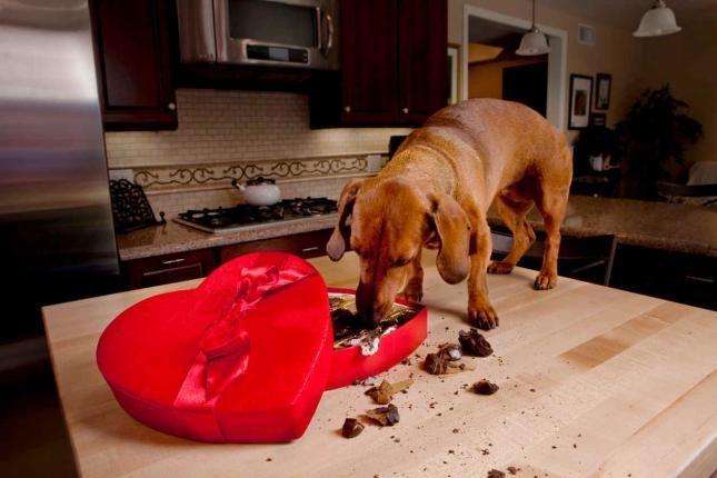 El chocolate es peligroso para perros y gatos, ¿verdadero o falso?