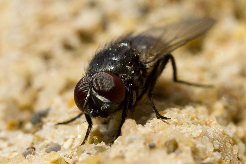 Las moscas viven muy poco.
