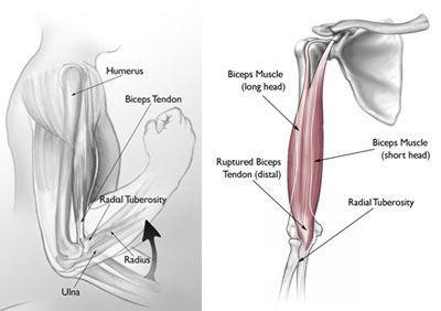 ¿Cual de los siguientes nervios inerva a parte de los músculos de la mano?