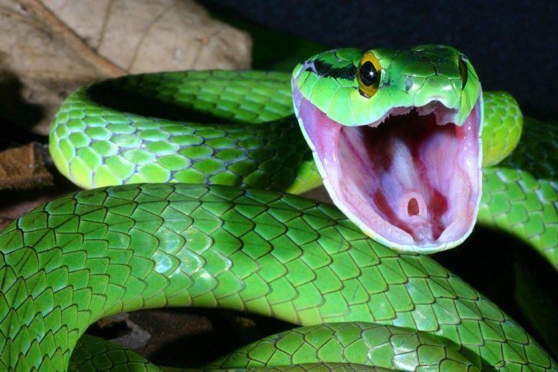 ¿Comerte una serpiente de alrededor de 1 metro cruda o un ciempiés de 20 cm calentado al fuego?