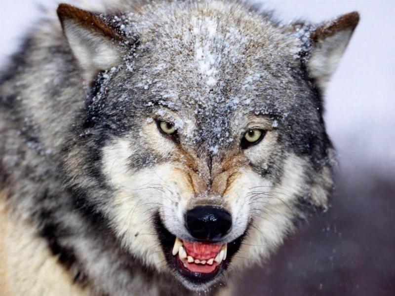 Más hace el lobo callando...