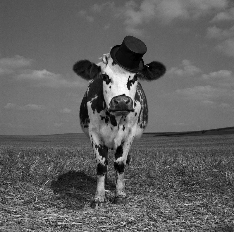 Quien come la vaca del rey...