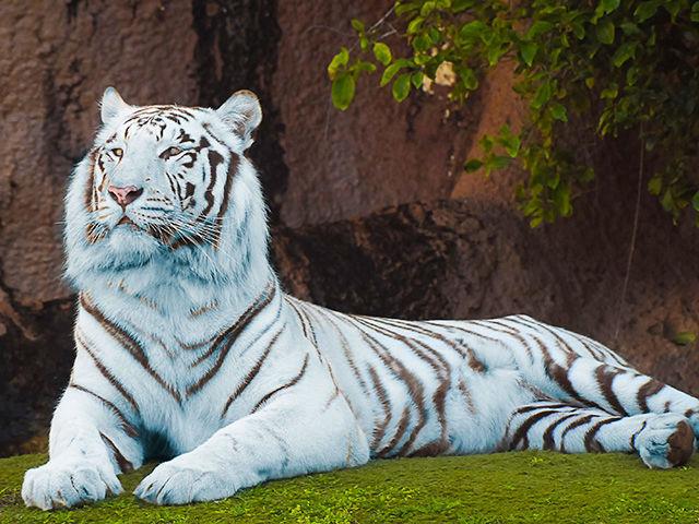 ¿Existen los tigres azules?