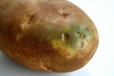 Las patatas verdes son tóxicas