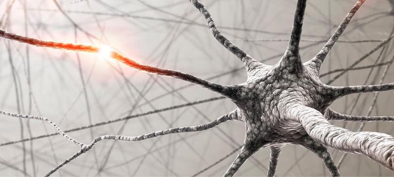 Las neuronas no se regeneran