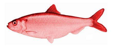 ¿Qué es un Red Herring (arenque rojo)?