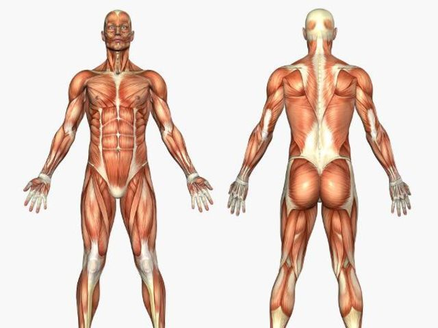¿Cuál es el músculo más grande del cuerpo humano?