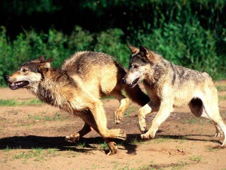 Al verte huir el encapuchado envia a los lobos detras de ti.