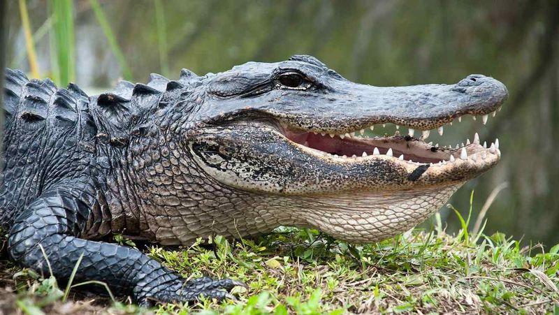 24805 - Cocodrilos, alligators y caimanes. ¿Sabrás diferenciarlos?