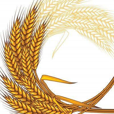 ¿Cuál de estos tipos de trigo puede tomar un celíaco?