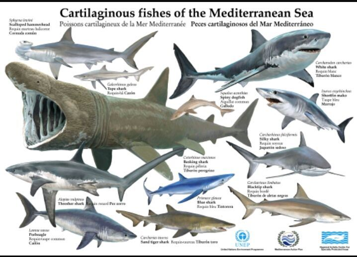28623 - ¿Que tipo de tiburón eres?