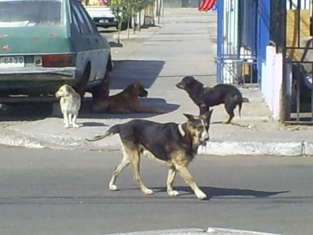 Si tu mascota se encuentra otro perro por la calle, cómo reacciona.