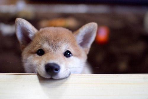 29301 - ¿Cuántas curiosidades sobre perros sabes?