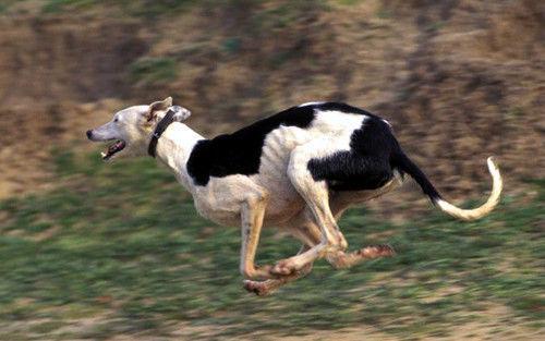 ¿A qué velocidad puede llegar a correr un galgo?