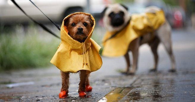 ¿Por qué no les gusta la lluvia a los perros?