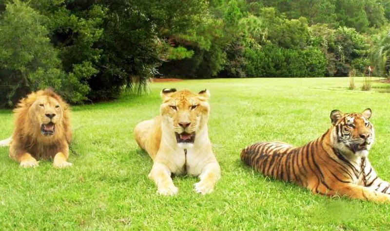 ¿Cuál es tu opinión sobre la ingeniería genética en la hibridación animal?