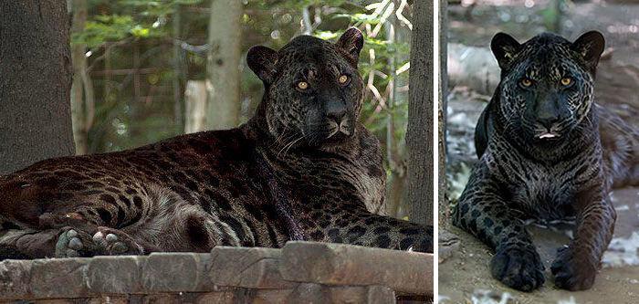 ¿Crees que la hibridación pueda ayudar a evitar de cierto modo la extinción de una especie preservando parte de su escencia?