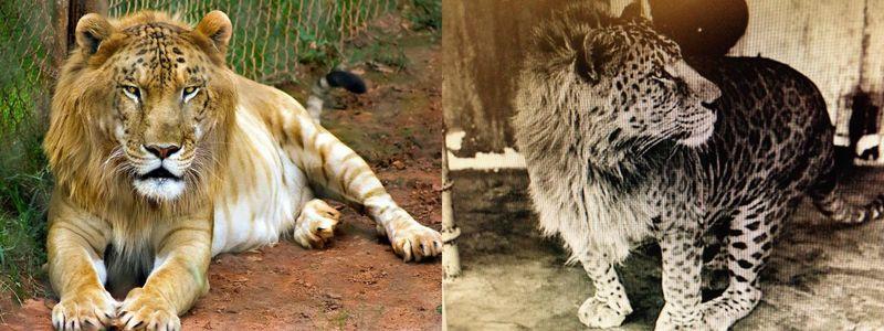 ¿Crees que los híbridos animales pueden ser de utilidad en el ámbito natural o científico?