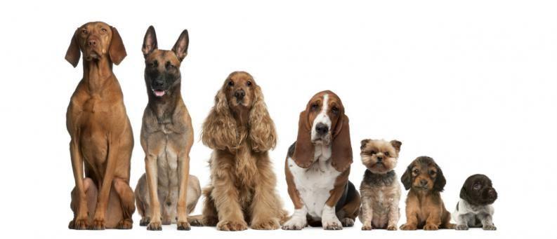 32142 - Razas de perros, ¿cuántas conoces?