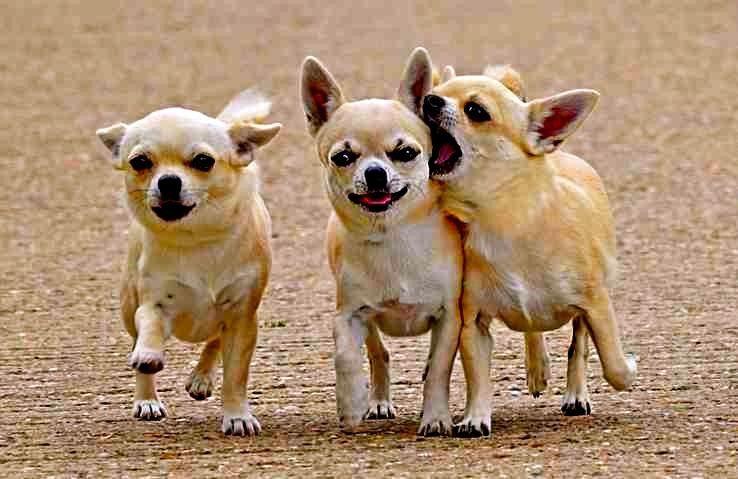 Estos perros son famosos por ser de los más pequeños que existen