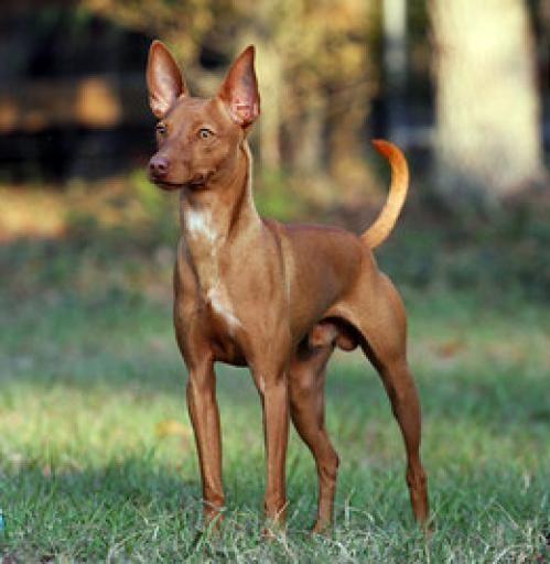 Este perro es típicamente usado en la caza, pero es un gran perro de compañía.