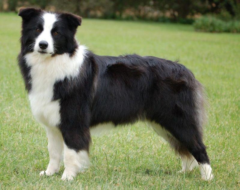 Esta raza destaca por ser una de las más inteligentes. Típico perro pastor.